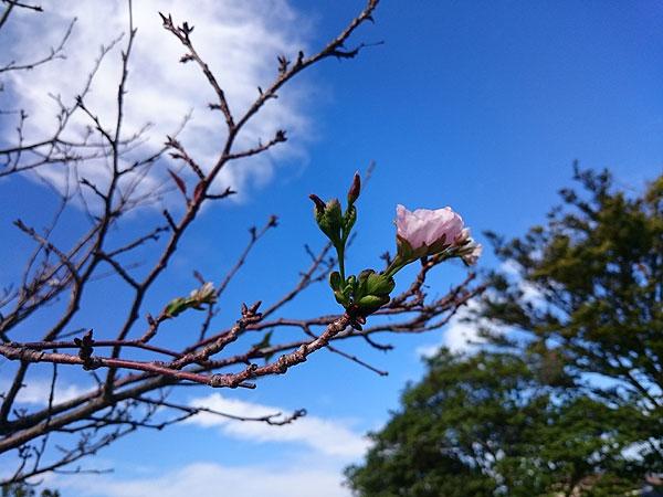 時季外れの桜01