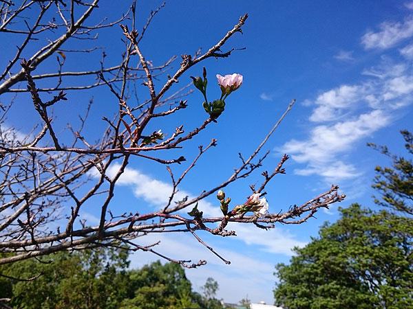 時季外れの桜02