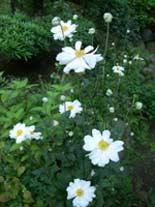 白花の秋明菊