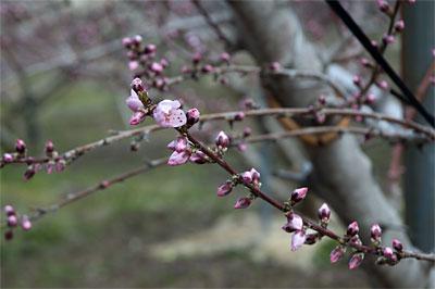 桃の開花情報