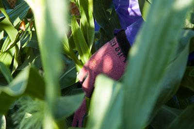 ヤングコーンの収穫