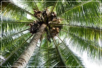 ココナッツ3
