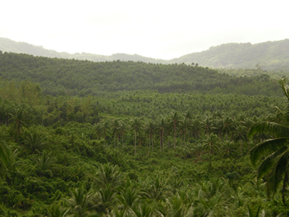 ココナッツ林(1)