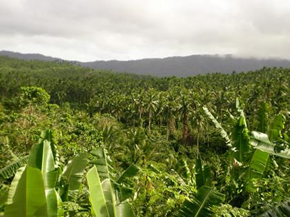 ココナッツ林(2)