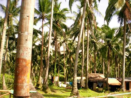 ココナッツ林(3)
