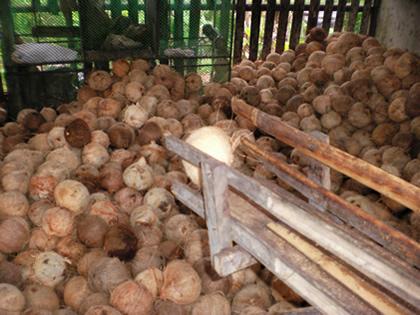 バージンココナッツオイル工場(4)