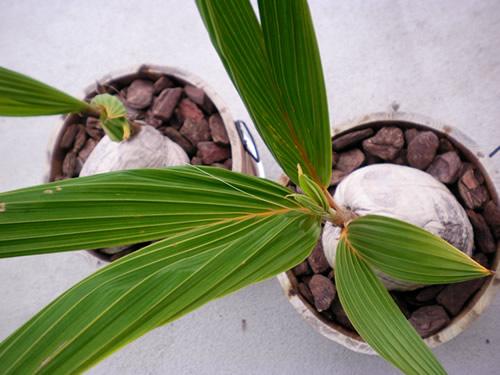 ココナッツの鉢植え