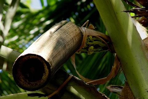 椰子の花蜜