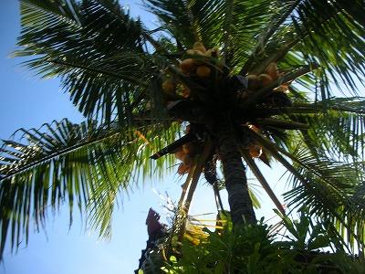バンガローの椰子。
