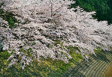 鮎河桜まつりの写真2