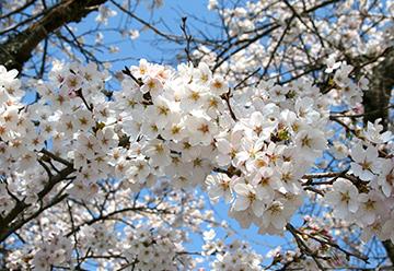鮎河桜まつりの写真3