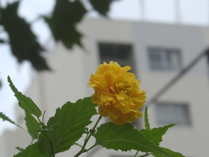 yamabuki0813