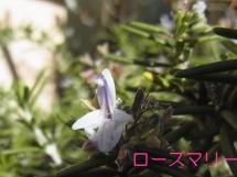 harusagashi3