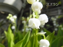 20140426suzuran