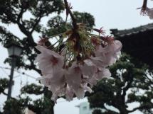 170408sakura1