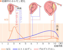妊娠中の女性ホルモン値