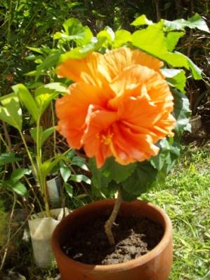 大きな花のハイビスカス