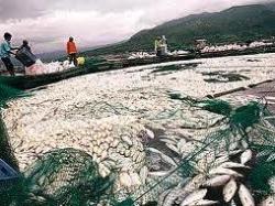 タアル湖の養殖魚大量死