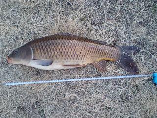 今期初鯉68cm