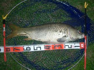 0910.21−79cm鯉