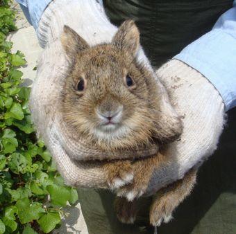 ニホンノウサギの画像 p1_11