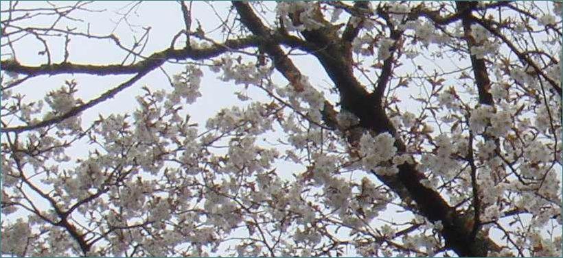 3月 桜.jpg
