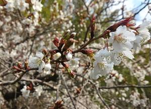 桜の花びらの写真1