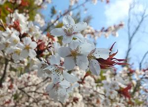 桜の花びらの写真2