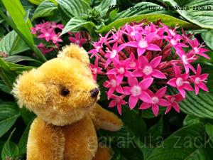 ペンタスの花とベアの写真