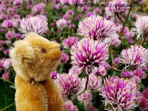 しろつめくさのようなお花とベアの写真