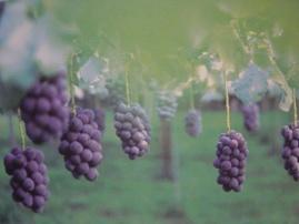 葡萄ラボのカタログの写真です