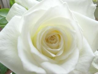 白いバラも綺麗です