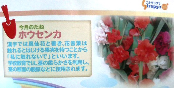 鳳仙花の種