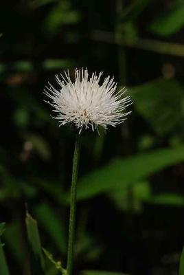 アザミ・白花
