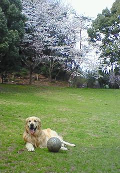 いつもの広場の桜