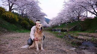 玉川の桜とラルフ