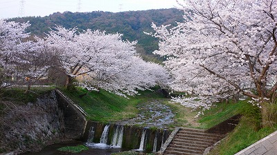 玉川の桜祭り