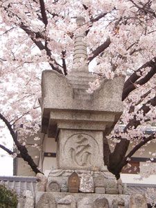 壬生寺の桜
