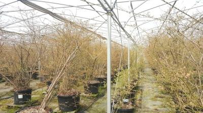 福村農園さんのブルーベリー栽培