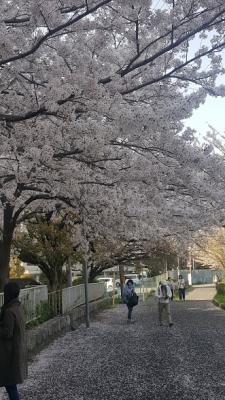 京都、塩小路通付近の桜小道