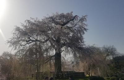 京都、円山公園の桜