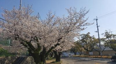 蔵元公園の桜