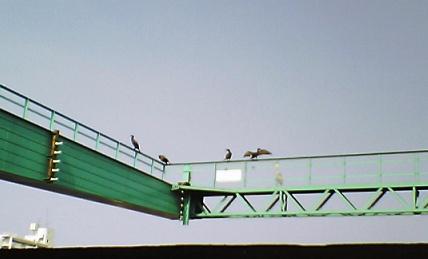 左に鵜が4羽…右に鷺1羽見えますか?