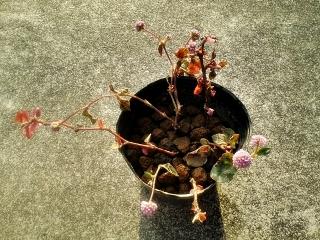 20200426-ヒメツルソバ挿し芽
