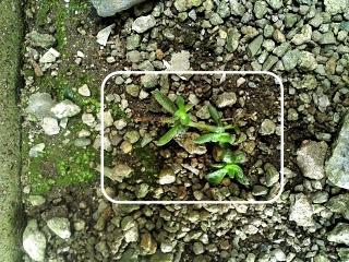 20200428-5-多肉植物クーペリー(あかり)
