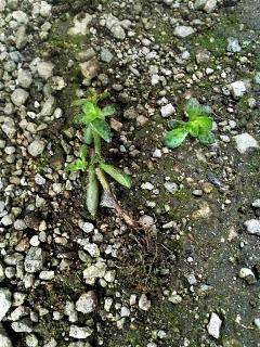 20200428-4-多肉植物クーペリー(あかり)