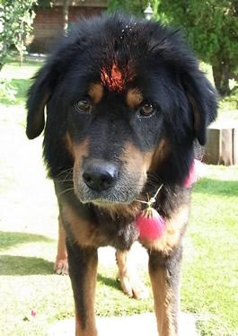 ネパールの犬