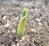 ニンニクの芽?