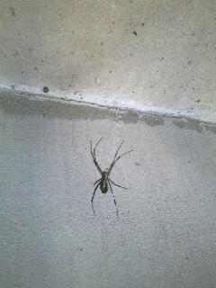 しましまの蜘蛛