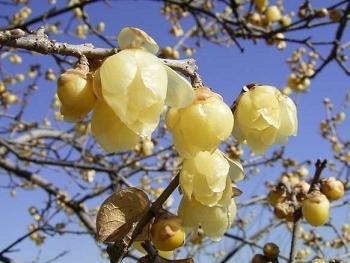 聖天院の蝋梅